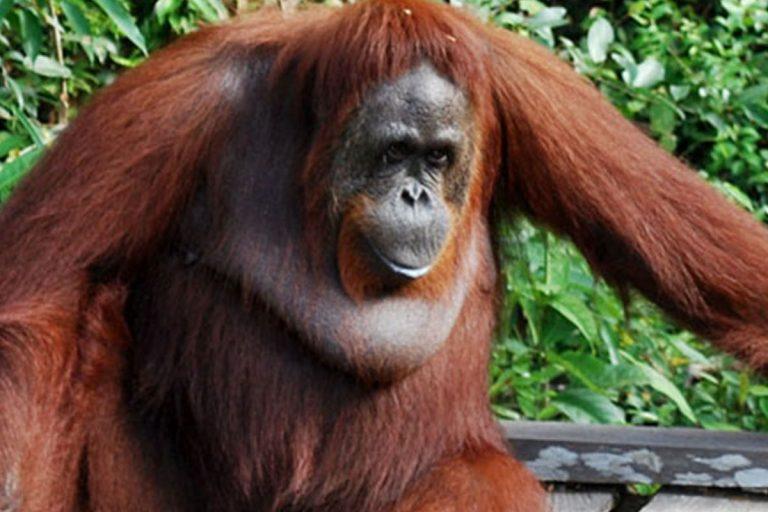 Borneo Orangutan and Jungle Trekking – 4 Days-03