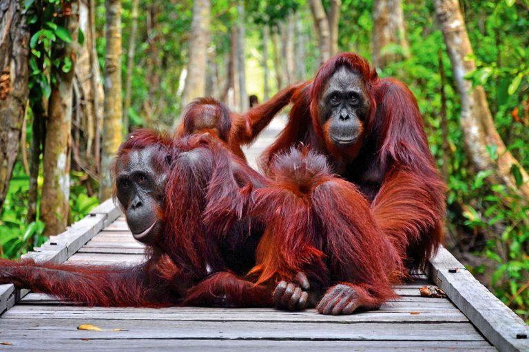 Borneo Orangutan and Jungle Trekking – 4 Days-04