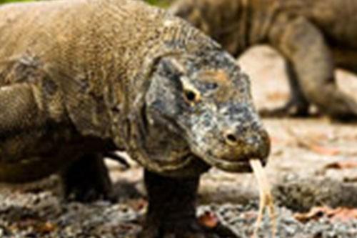 Explore Komodo The Dragon Island – 3 Days-03