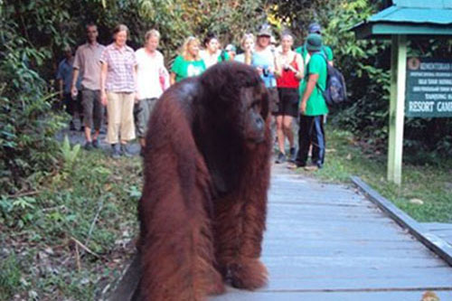 Borneo Orangutan Tour Klotok – 4 Days-02
