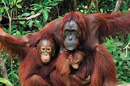 Borneo Orangutan Tour Klotok – 4 Days-03
