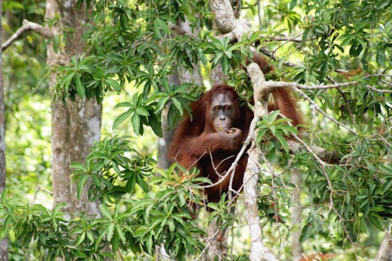 Borneo Orangutan and Dayak Tribe – 5 Days-04