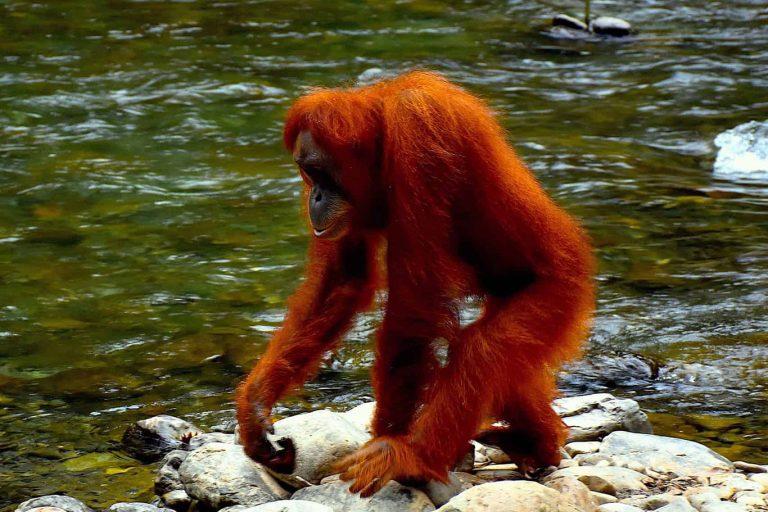 Leuser National Park Expedition – 8 Days-02